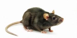 jasa-pembasmi-tikus