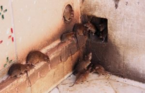 Penyebab Serangan Hama Tikus di Rumah