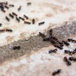 Mengapa Semut Dianggap Sebagai Hama?
