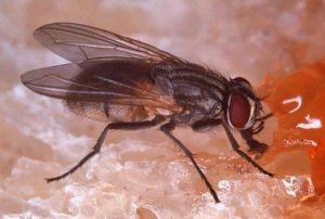 Mengenali Karakteristik Lalat Rumah 2