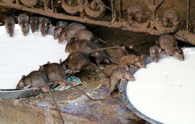 Mengenali Karakteristik Tikus Si Hama Pengganggu