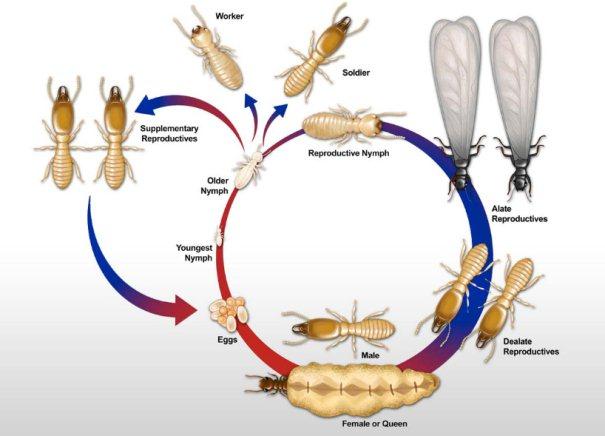 Metamorfosis Tidak Sempurna Pada Siklus Hidup Rayap