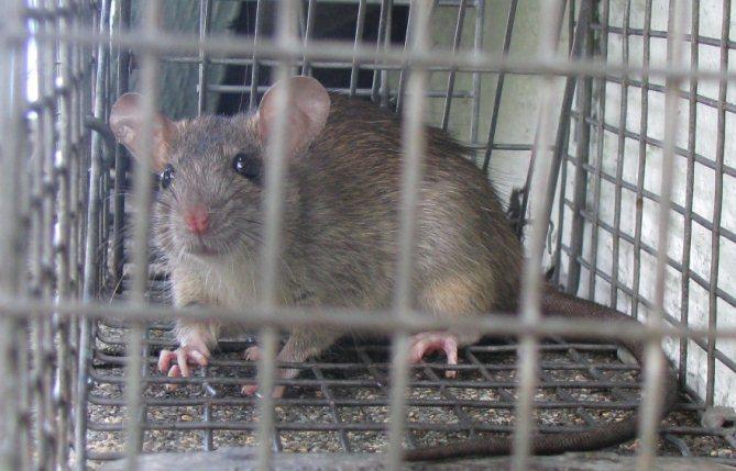 Tips Memakai Perangkap Tikus Agar Efektif 2