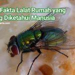 Inilah Fakta Lalat Rumah yang Jarang Diketahui Manusia