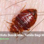 Bahaya Kutu Busuk atau Tumila Bagi Manusia