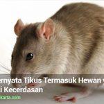 Wow, Ternyata Tikus Termasuk Hewan yang Memiliki Kecerdasan