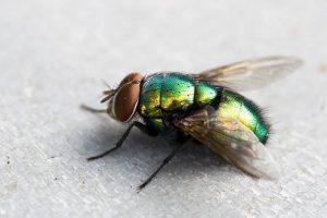 3 Cara Menghindari Kontaminasi Bakteri Dari Lalat