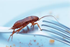 Benarkah Kecoa Bisa Mengakibatkan Tifus