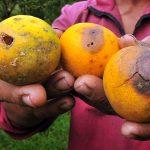 Cara Alami Basmi Lalat Buah Pada Buah Dan Makanan