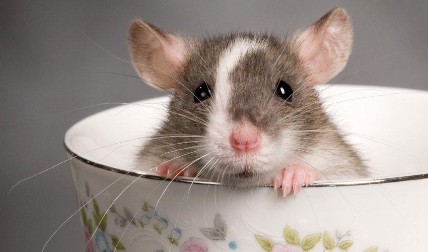 Cara Tepat Basmi Tikus Di Lingkungan Rumah