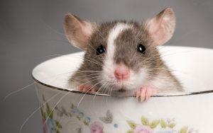 Cara Tepat dan Cepat Basmi Tikus Di Lingkungan Rumah